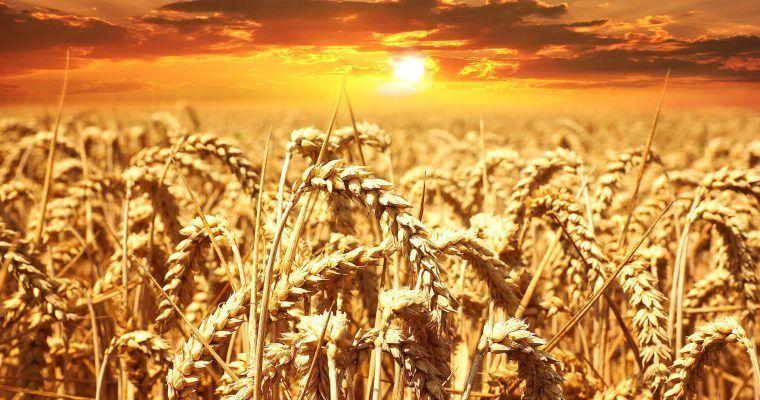 "Sin trigo, gracias (""Wheat Belly"" de William Davis)"