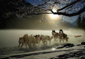 Huskies incansables tirando de su trineo